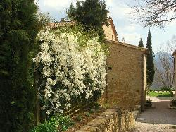 Clematis Armandii in full flower on the drive at Mazzaforte